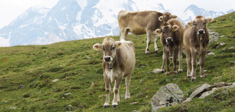 Calendario Aste Bolzano.Vendita Nazionale Ed Internazionale Di Tori Alto Adige